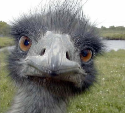 Horny ostrich